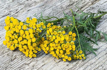 Application of tansy flowers from worms